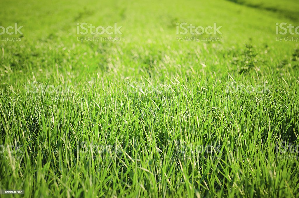 Green Grass field in spring royalty-free stock photo