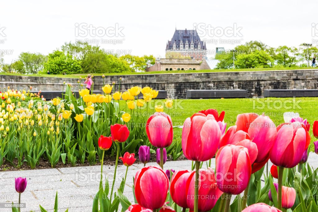 Green grass fields with colorful tulip flowers in park with fortifications stone wall and cityscape or skyline view stock photo