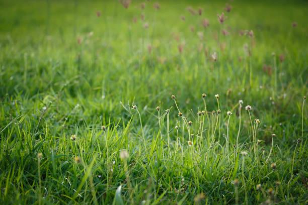 campo de grama verde flor na luz da manhã, primavera e verão fundo de conceito - foto de acervo