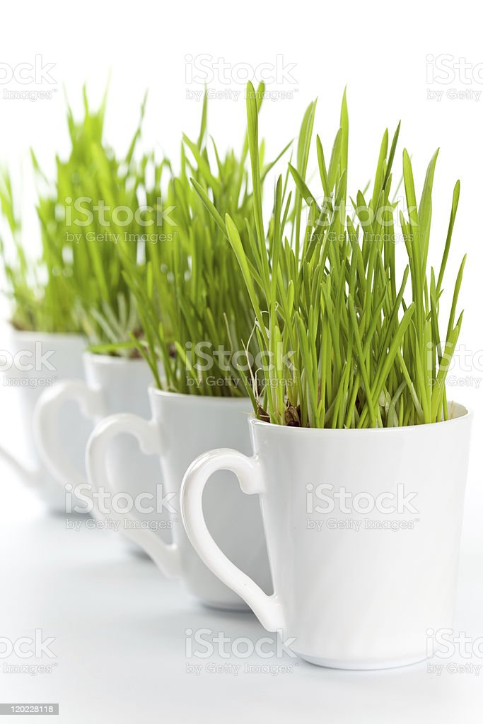 green grass in coffee cups royalty-free stock photo