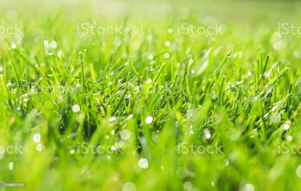 Green grass in morning dew. Selective focus. Close up shot with beautiful natural bokeh. Water drops after rain royalty-free stock photo