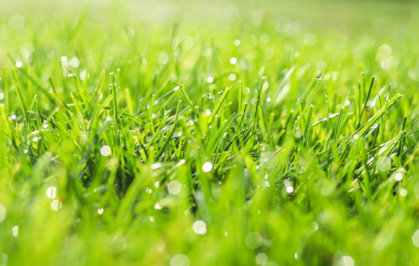green grass in morning dew. selective focus. close up shot with beautiful natural bokeh. water drops after rain - lawn stock pictures, royalty-free photos & images