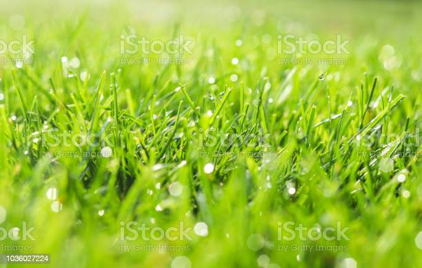 Photo of Green grass in morning dew. Selective focus. Close up shot with beautiful natural bokeh. Water drops after rain