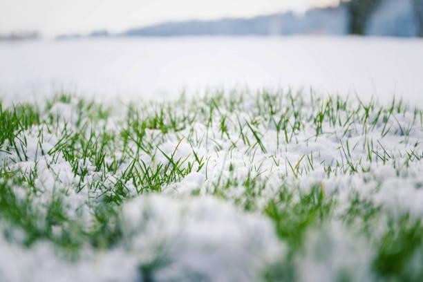 Green grass in snow, bush in background, Hello spring concept stock photo