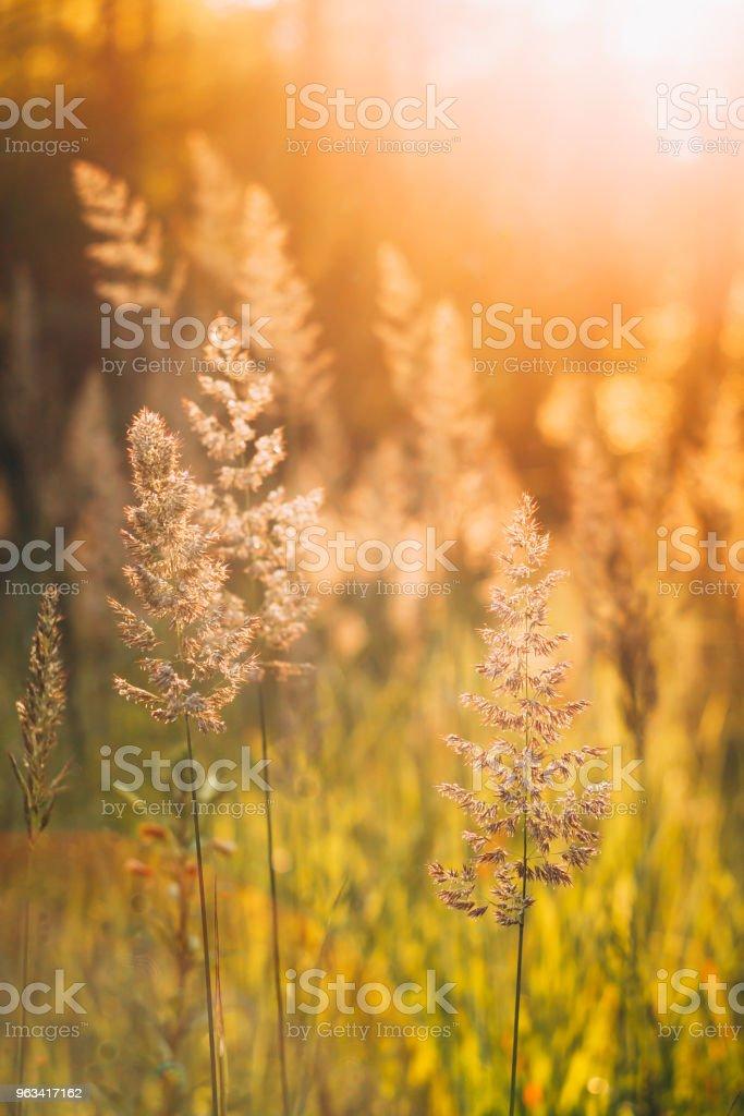 Green Grass In Sunset Sunlight. - Zbiór zdjęć royalty-free (Bez ludzi)