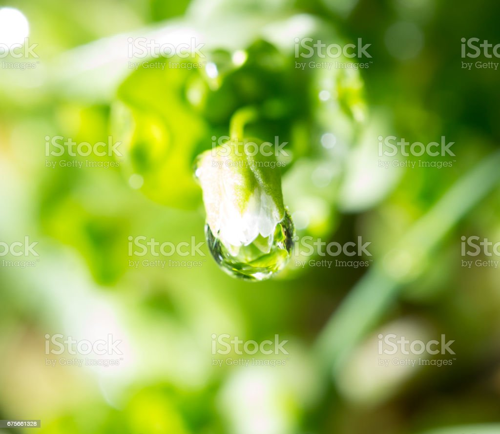 Green grass in the dew on the nature royalty-free stock photo