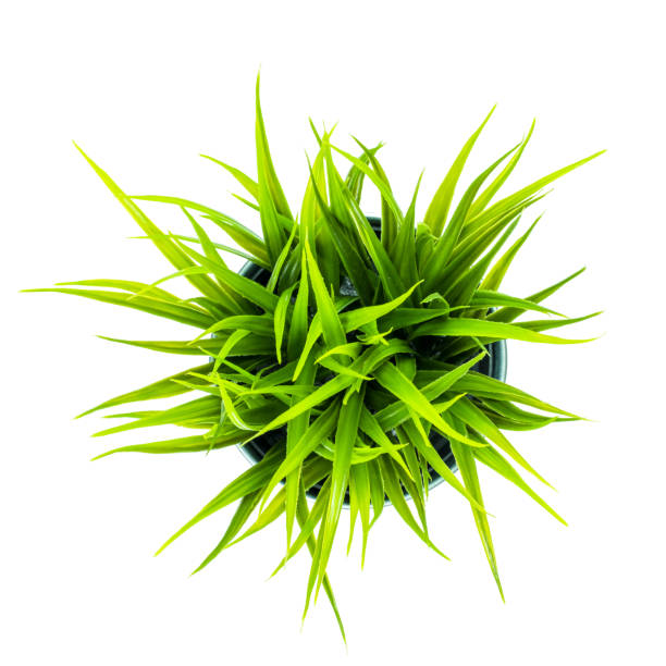 Green grass in the pot isolated on white background with Clipping Path. stock photo