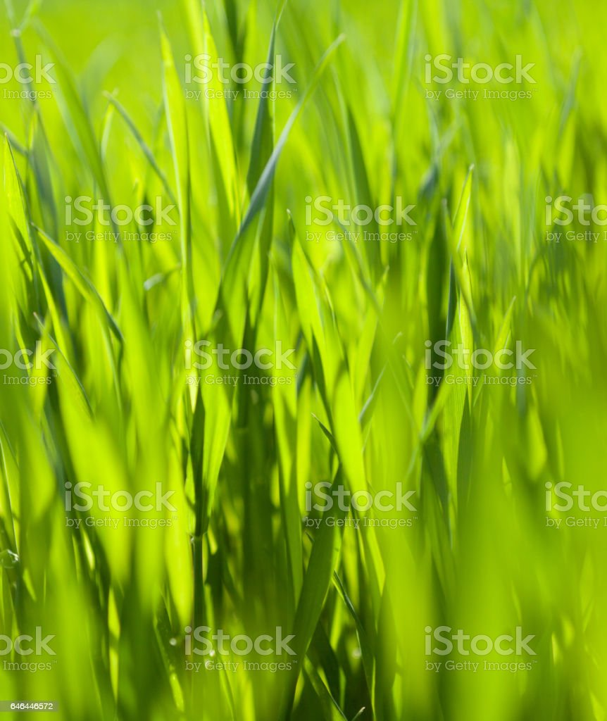 Green grass in the sunny day stock photo