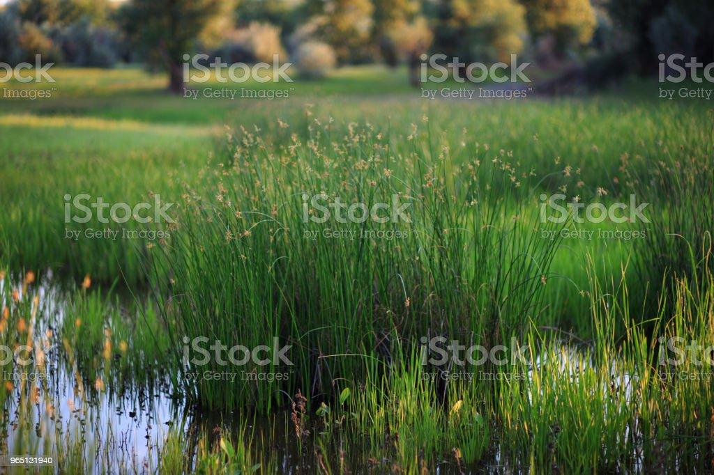 Green grass in the water on the swamp close-up zbiór zdjęć royalty-free