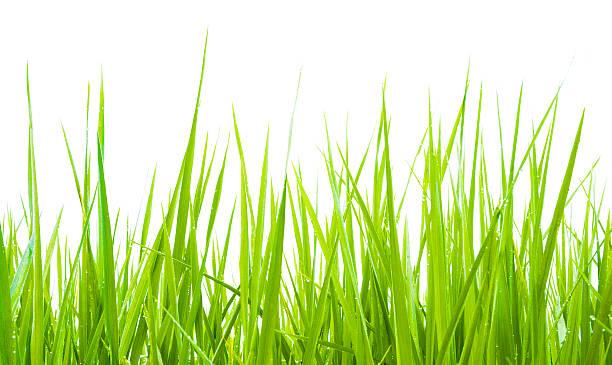 erba verde isolato - filo d'erba foto e immagini stock