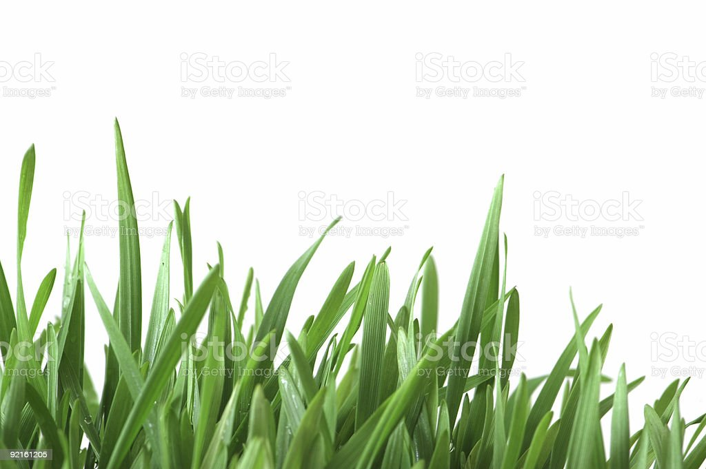Green grass isolated  on the white background stock photo