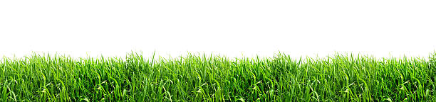 XXL Green Grass Isolated on White Background stock photo