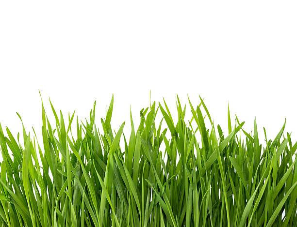 grünes gras, isoliert auf weißem hintergrund. - scyther5 stock-fotos und bilder