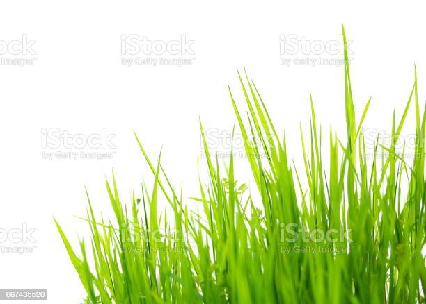 Green grass isolated on white background picture id667435520?b=1&k=6&m=667435520&s=612x612&h=bc9jg9zz2qybvf2uwmji1ahtp7hp4jwwkxhccz25dua=