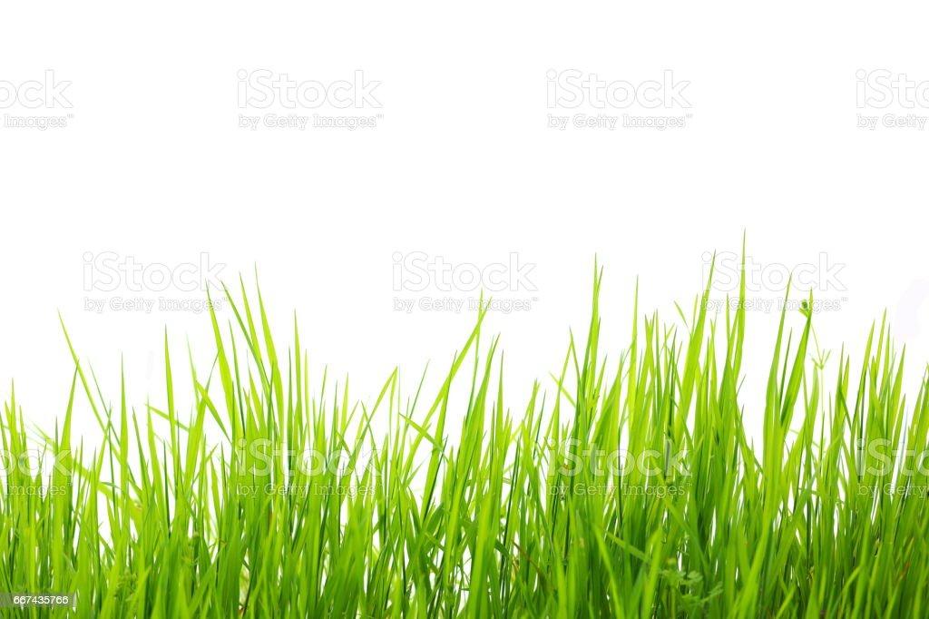Verde hierba aislado sobre fondo blanco - foto de stock