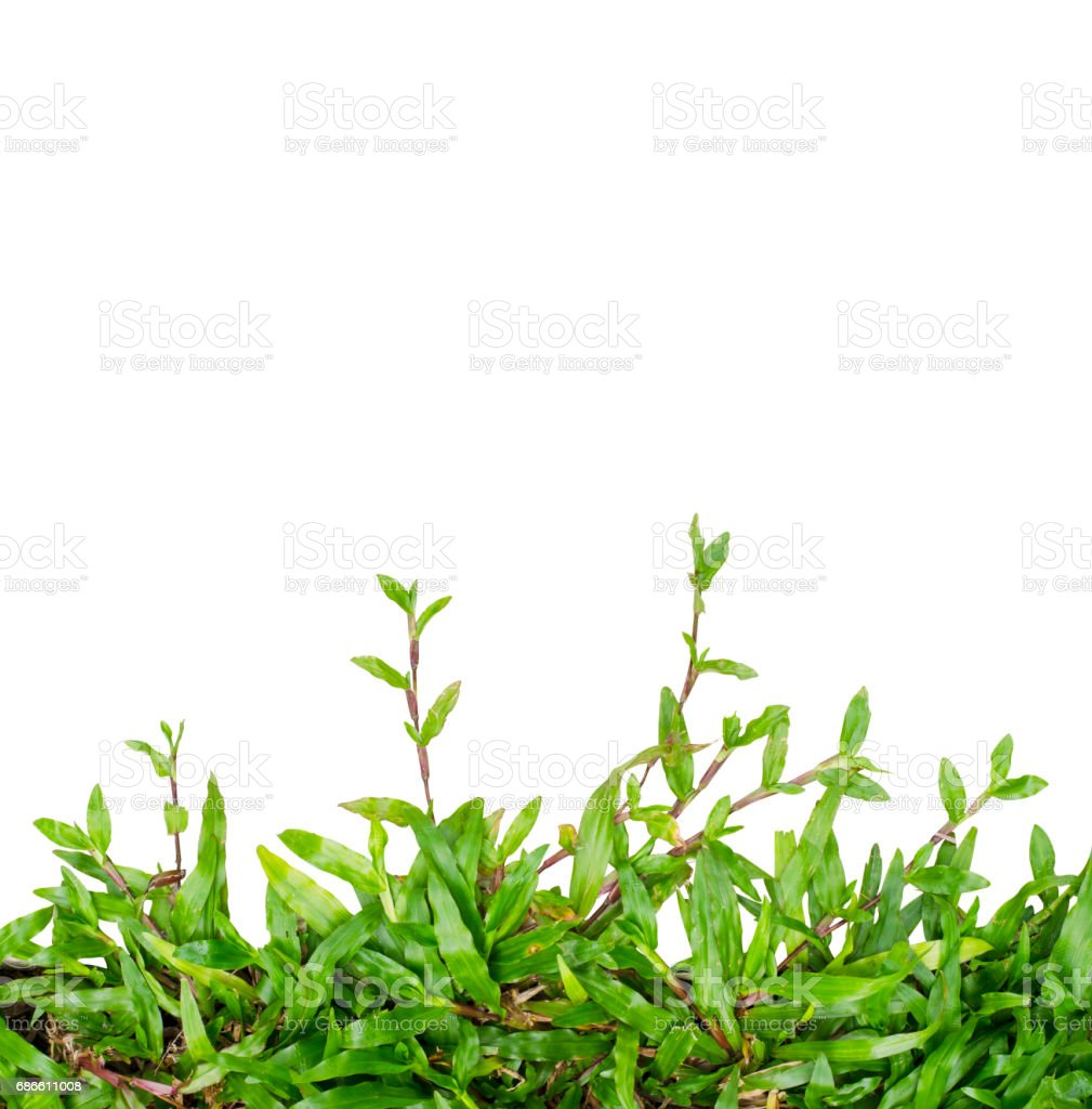Green grass Ivy isolated royalty-free stock photo