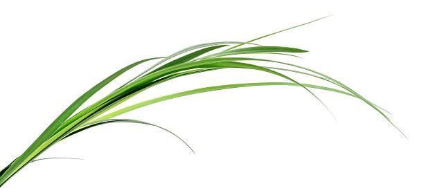 erba verde foglie. - filo d'erba foto e immagini stock