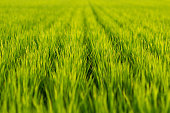 Green grass of rice field. Fukuoka, Japan