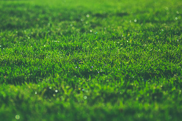 Green grass on sunny meadow morning sparkling dew water drops stock photo