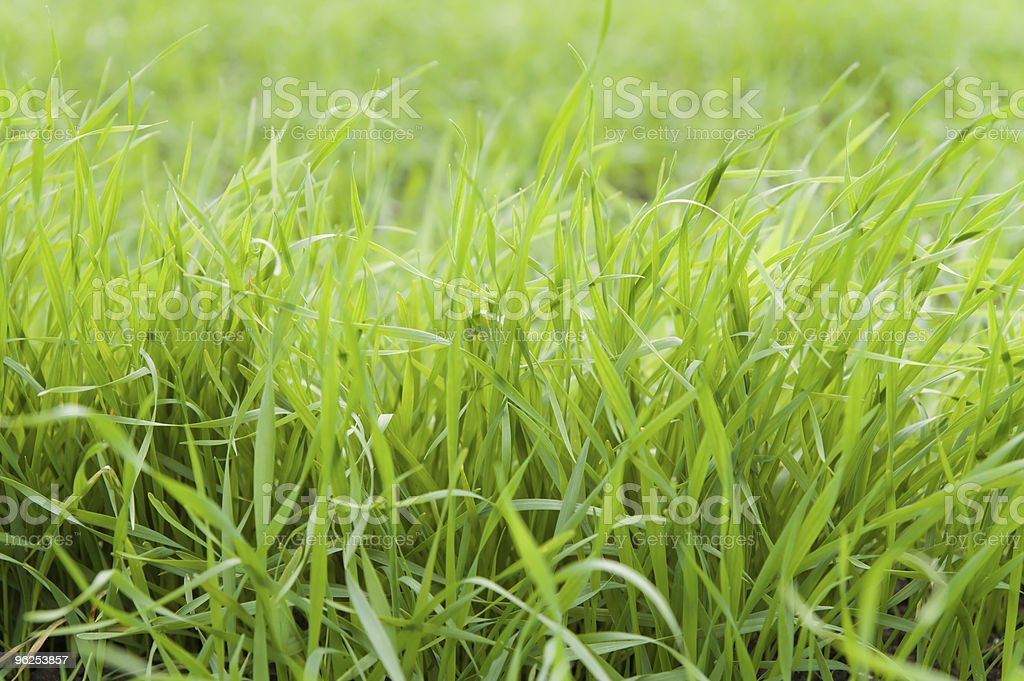 green grass - Royalty-free Agricultural Field Stock Photo