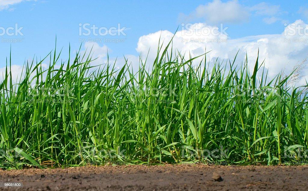 녹색 잔디 royalty-free 스톡 사진