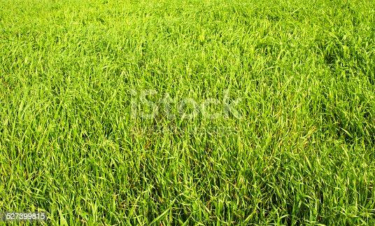 istock Green grass seamless texture. 527399815