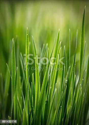 istock Green grass, spring, lawn 891430116