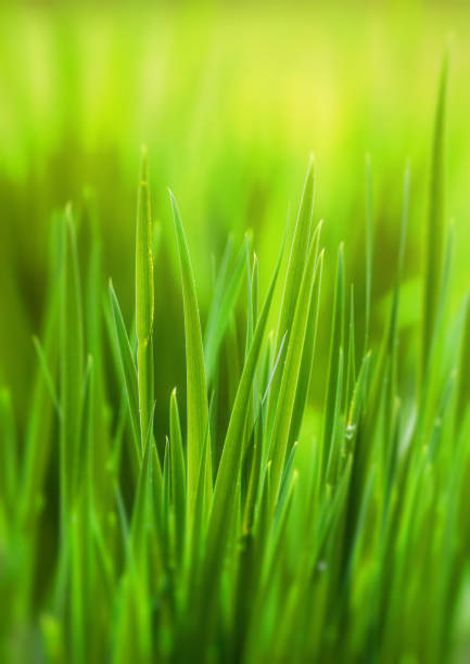 green grass, spring, lawn - filo d'erba foto e immagini stock