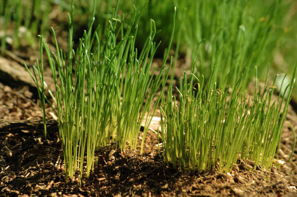 Green grass sprouts in brown soil - foto stock