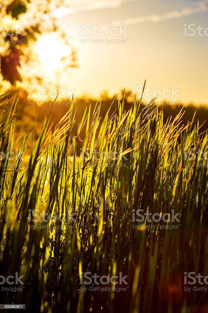 Green grass sunset stock photo