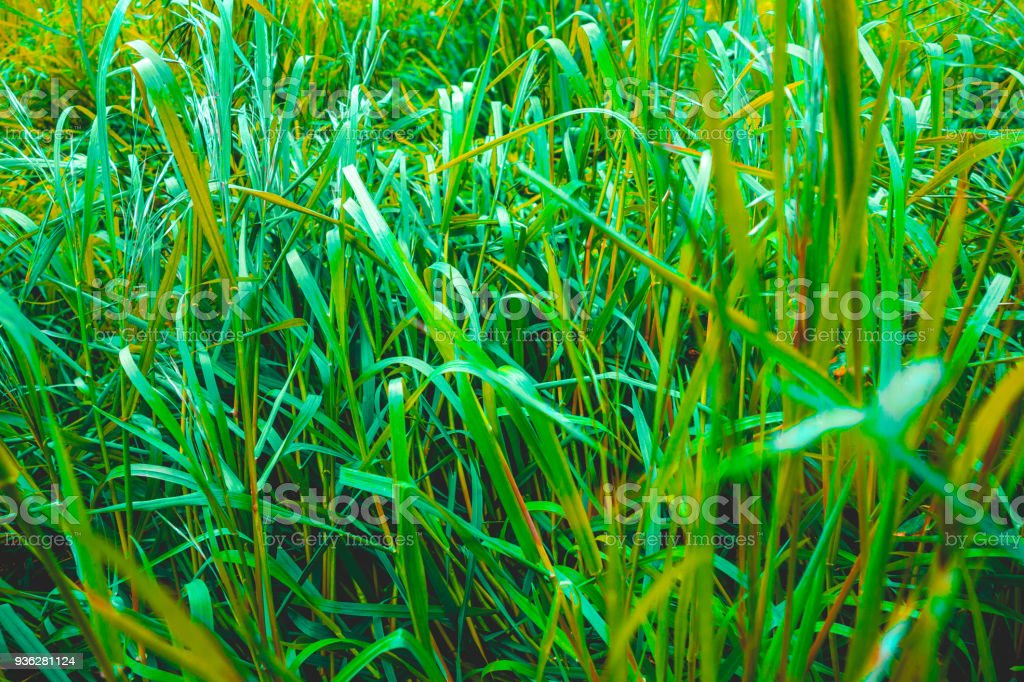 green grass texture for nature themes stock photo