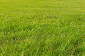 green grass texture with space for text. lawn as the background