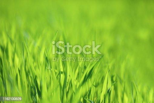 Green wheat field.