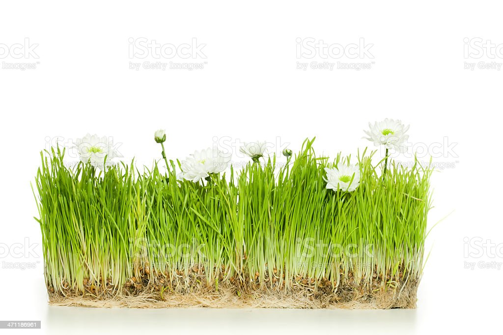 Green grass with camomiles royalty-free stock photo