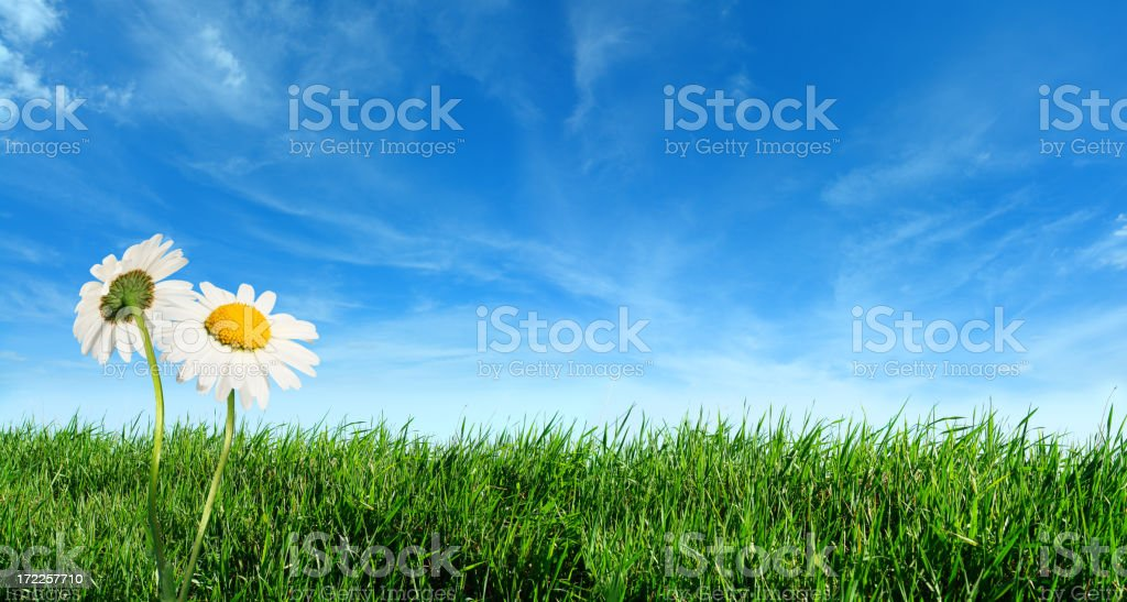 Green grass with daisy flowers stock photo