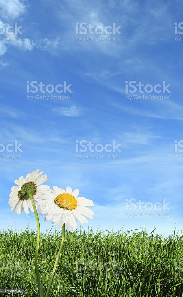 Green grass with daisy flowers royalty-free stock photo