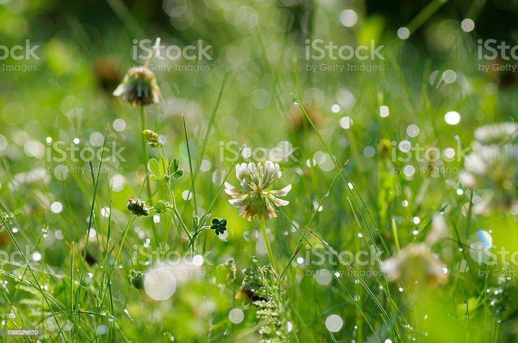 Herbe verte avec des gouttes de rosée  photo libre de droits