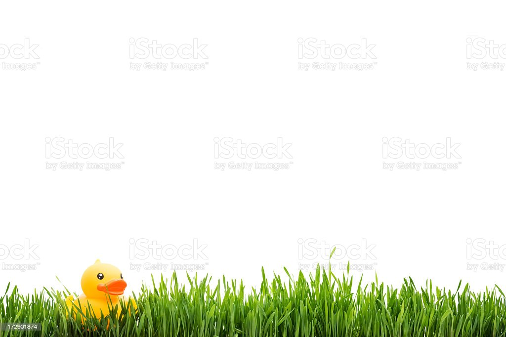 green grass with duck royalty-free stock photo