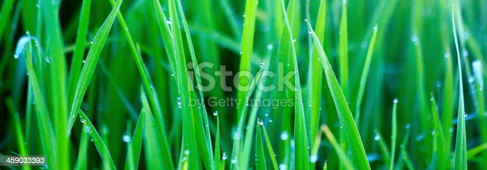 istock Green grass with morning dew 459033393
