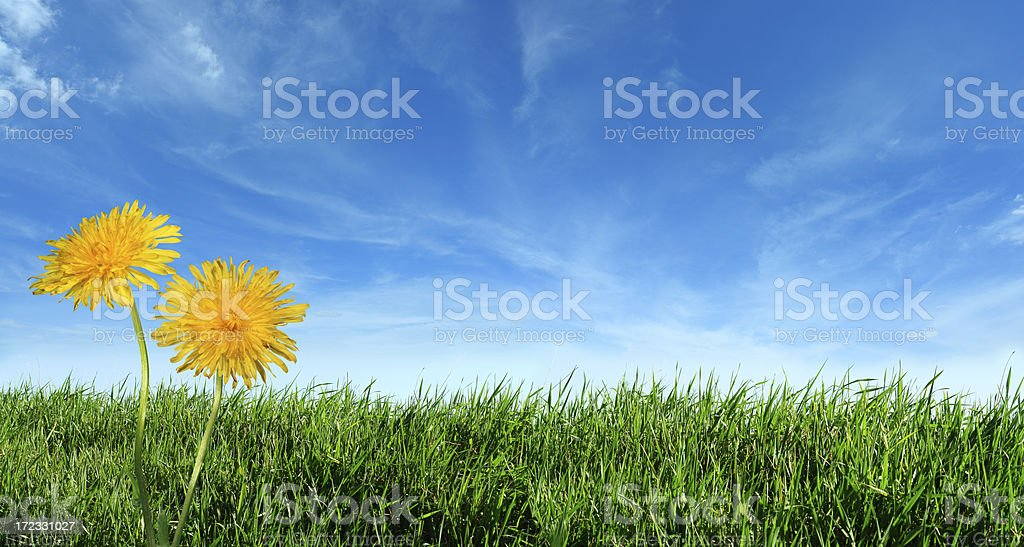 Green grass with Two Dandelions royalty-free stock photo