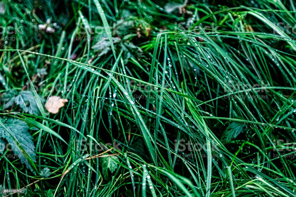 Green grass with water drops after rain in the forest royalty-free stock photo