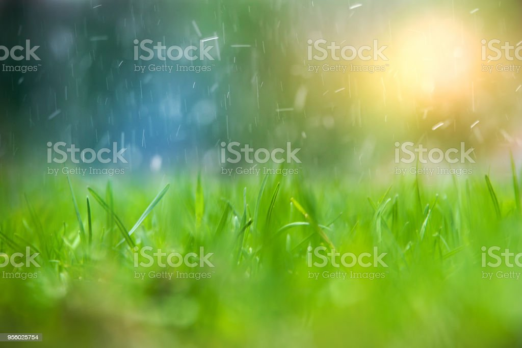 Green grass with water drops during rain stops. stock photo
