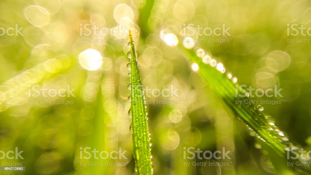 Green grass with water drops on morning. Close up photo royalty-free stock photo