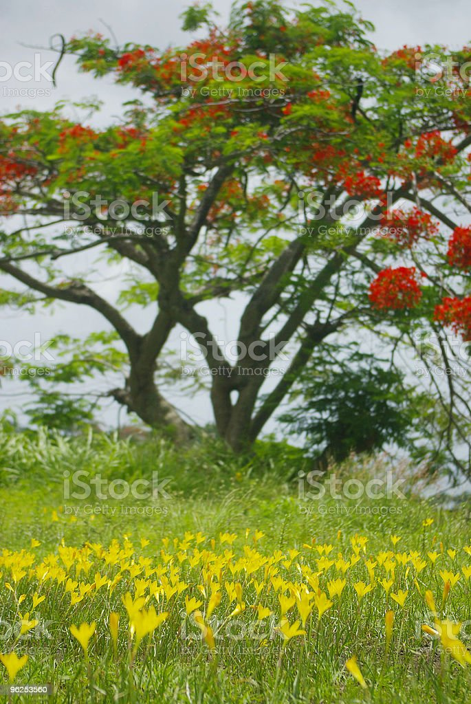 green grass, yellow flowers and red bloomed bouganvillea tree - Royalty-free Agricultural Field Stock Photo