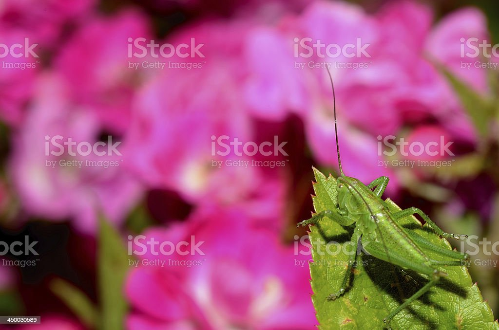 green grasshopper and flowers royalty-free stock photo