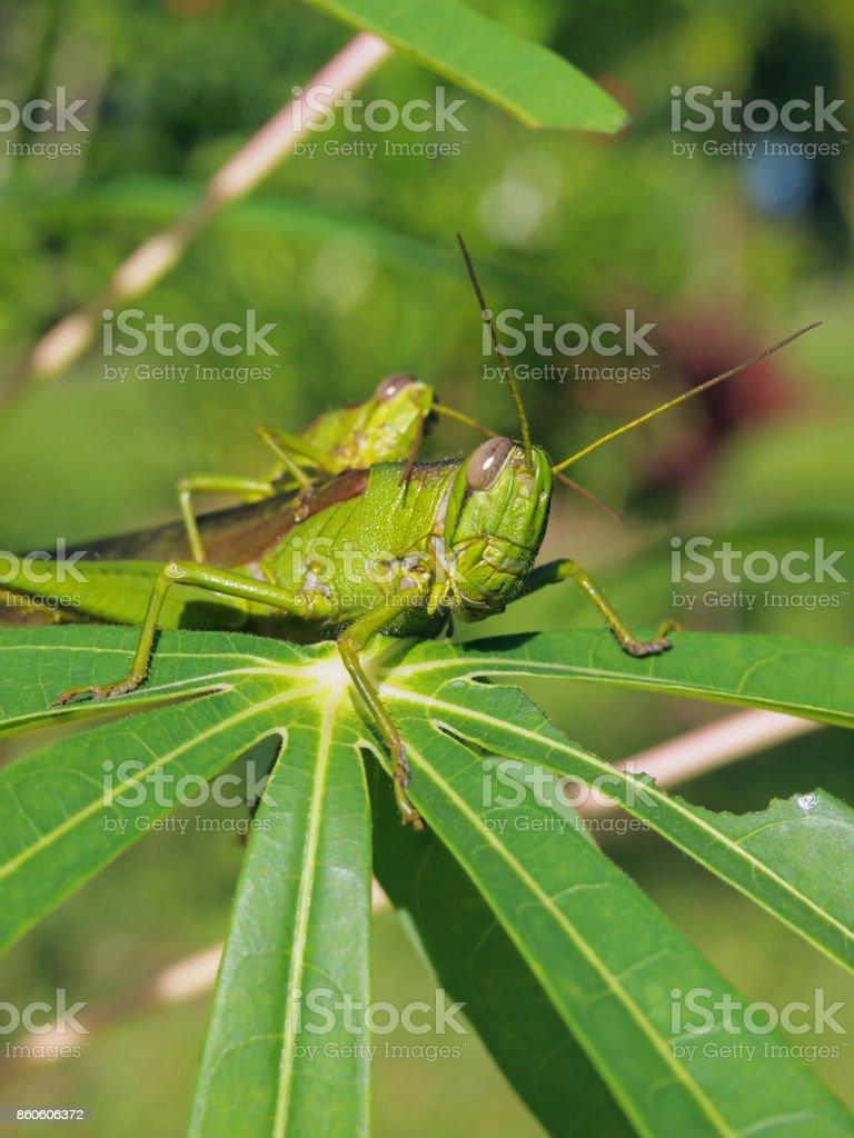 Green grasshopper eats leaf of manioc stock photo