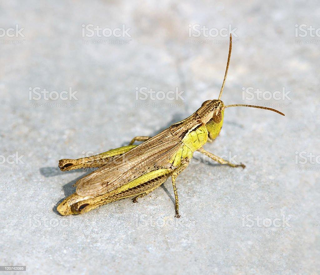 Green grasshopper in a macro shot royalty-free stock photo