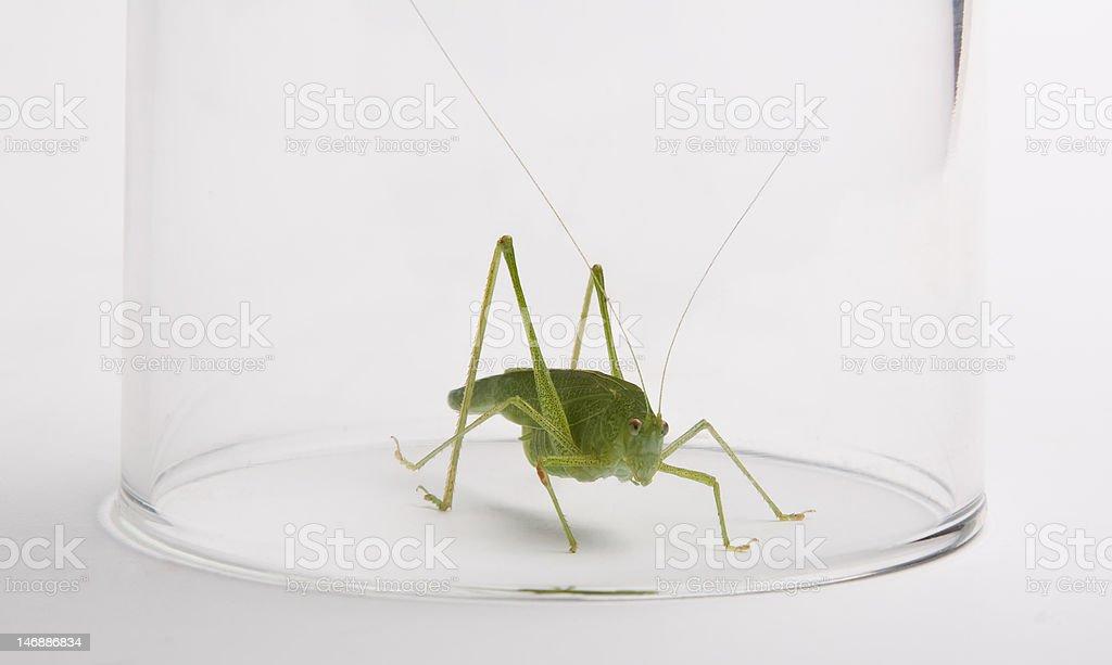 Green grasshopper in glass royalty-free stock photo