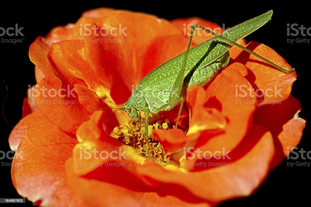 Green grasshopper in rose royalty-free stock photo