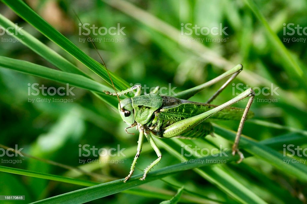 Green grasshopper in the grass royalty-free stock photo